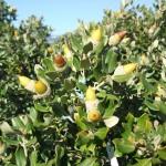 Nuevos avances en el conocimiento de las causas y consecuencias del fenómeno de vecería en especies de Quercus
