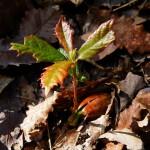 El decaimiento del alcornoque y sus consecuencias sobre la regeneración del bosque