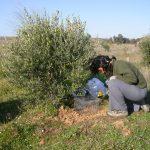 El papel facilitador del matorral para la restauración de zonas mediterráneas contaminadas por elementos traza