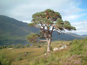 Glen-Affric-Scots-Pine-03