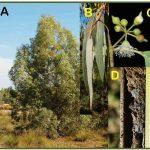 Potencial del eucalipto para recuperar suelos contaminados
