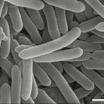 Bacillus onubensis, a new bacteria isolated from Gruta de las Maravillas