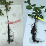 Investigadores del IRNAS determinan que la sequía puede reducir los daños producidos por patógenos invasores