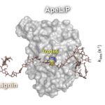 Caracterizada la primera lignina peroxidasa de una «seta» del orden Agaricales